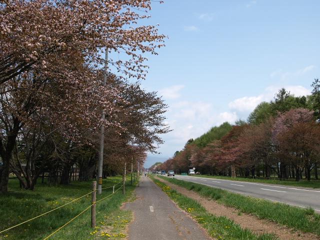 しずない桜まつり_d0153062_9103354.jpg