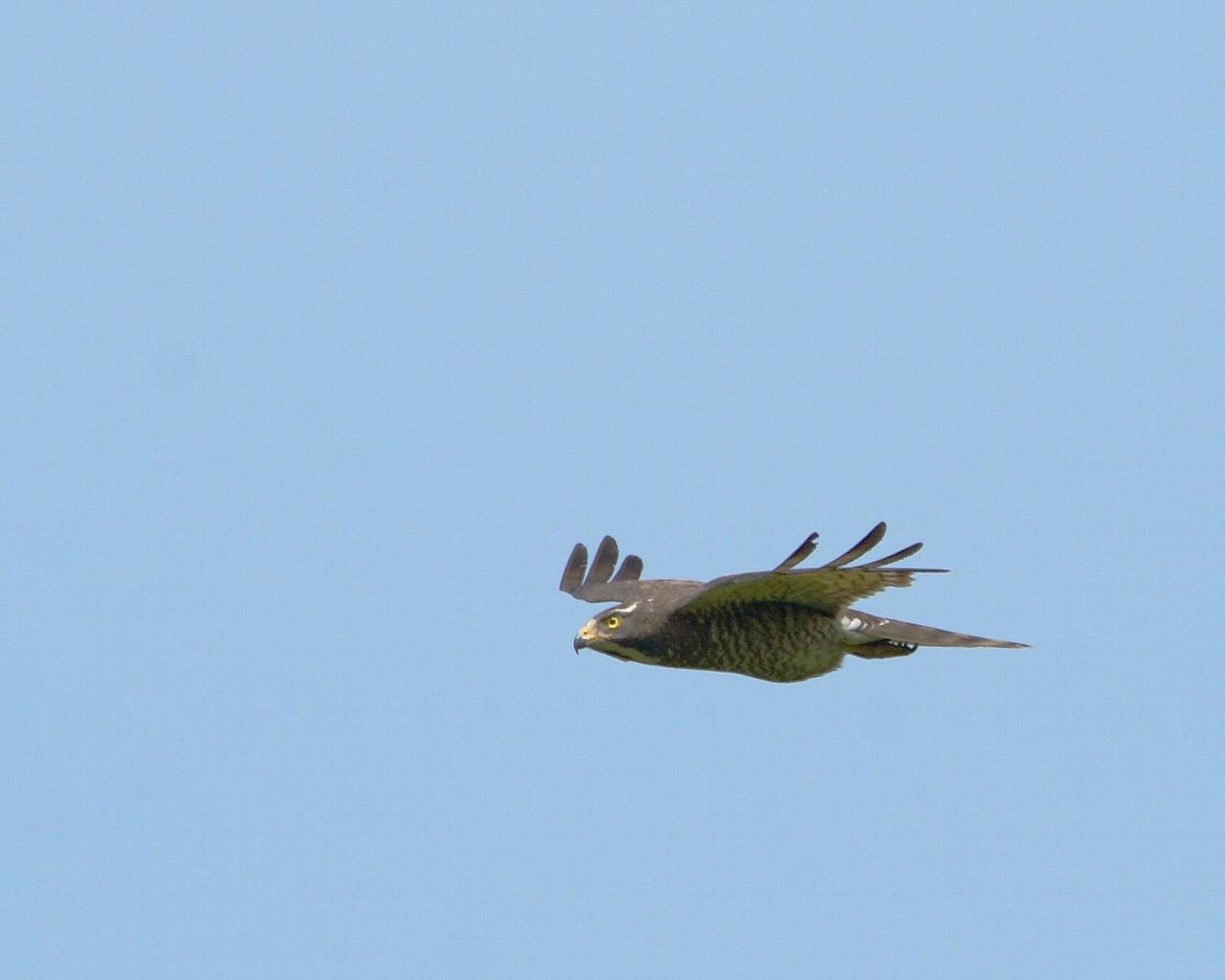 3年ぶりサシバ雌の飛翔(カッコイイ猛禽の飛翔の壁紙)_f0105570_22105325.jpg
