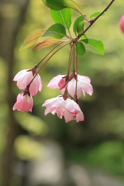 かいどうが咲いて_f0091207_0312951.jpg