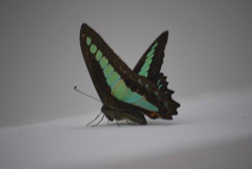 ブルーの蝶々_f0179528_2332010.jpg