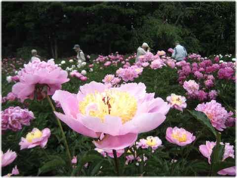 昨日の薔薇の続きです。薔薇園の隣に芍薬園があります。この植物園はとにかく... お散歩アルバム・