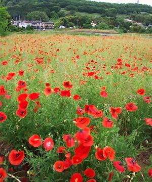 田原ふるさと公園のとなりで、一面に咲く真っ赤なポピー_c0171849_162343.jpg