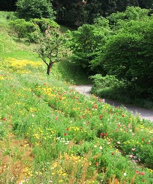 田原ふるさと公園のとなりで、一面に咲く真っ赤なポピー_c0171849_169494.jpg