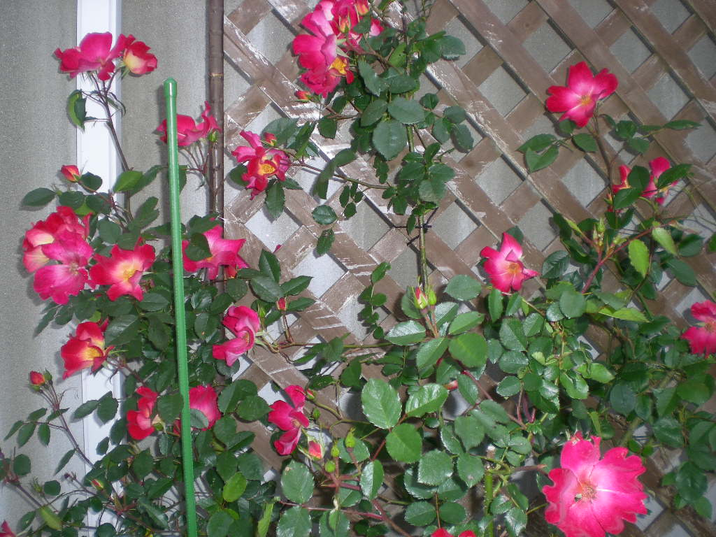 5月13日(水)バラと草取りと!_f0060461_20404547.jpg