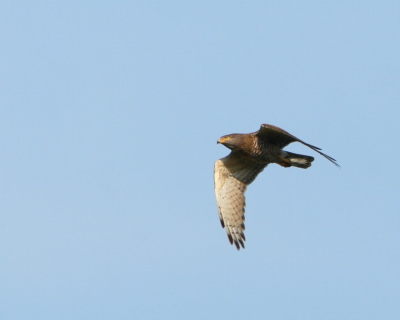 こちらはサシバ雄の飛翔です。_f0105570_21351977.jpg