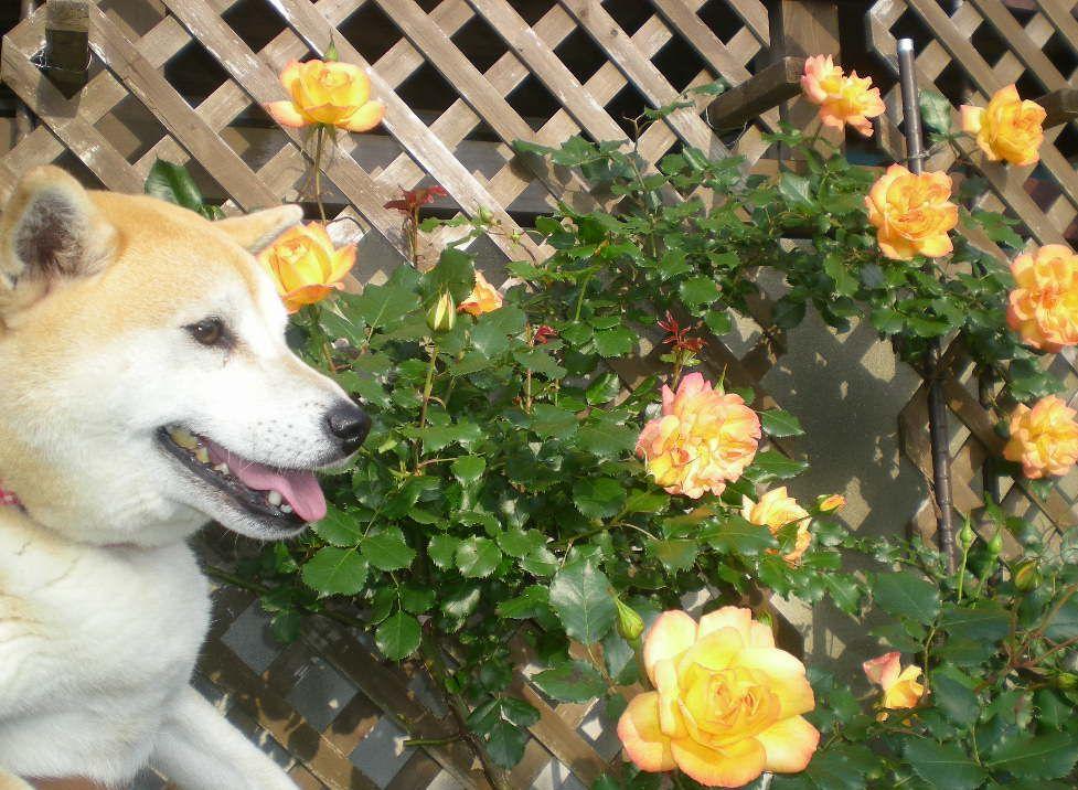 2009年5月14日(木)薔薇と受難のこころちゃん!!_f0060461_2142541.jpg