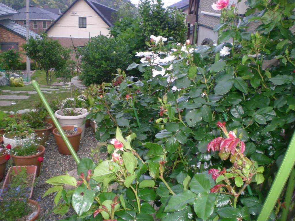 2009年5月14日(木)薔薇と受難のこころちゃん!!_f0060461_21494644.jpg