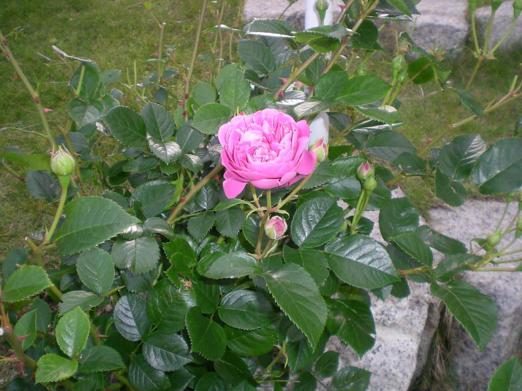 2009年5月14日(木)薔薇と受難のこころちゃん!!_f0060461_21532273.jpg