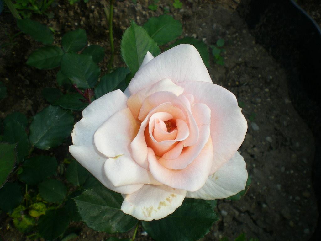 2009年5月14日(木)薔薇と受難のこころちゃん!!_f0060461_21543644.jpg
