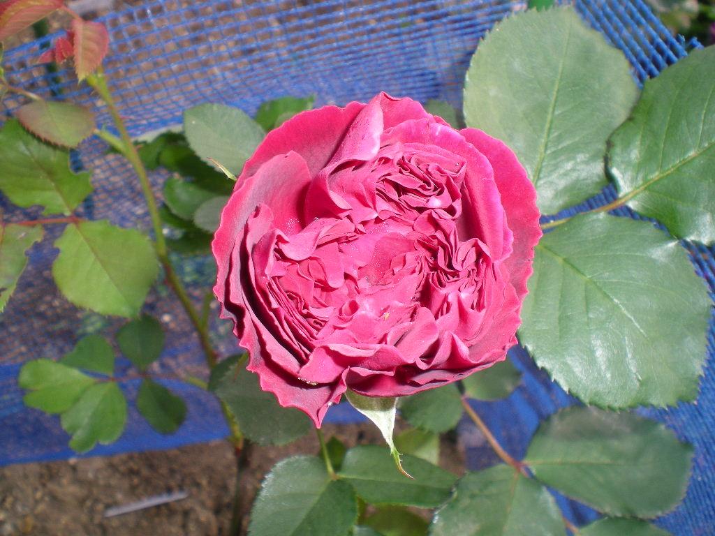 2009年5月14日(木)薔薇と受難のこころちゃん!!_f0060461_2155371.jpg