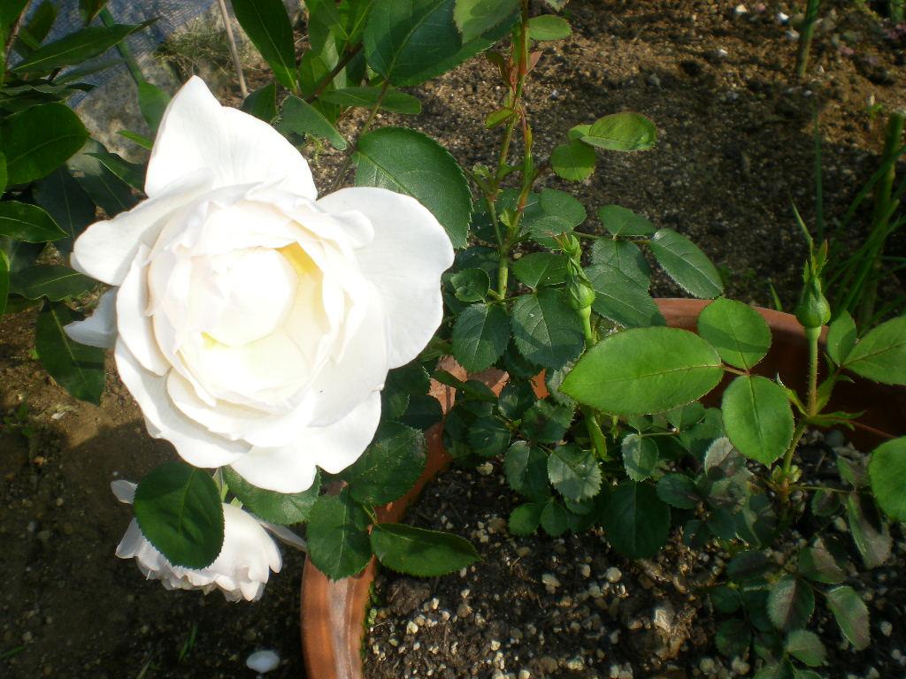 2009年5月14日(木)薔薇と受難のこころちゃん!!_f0060461_21564170.jpg