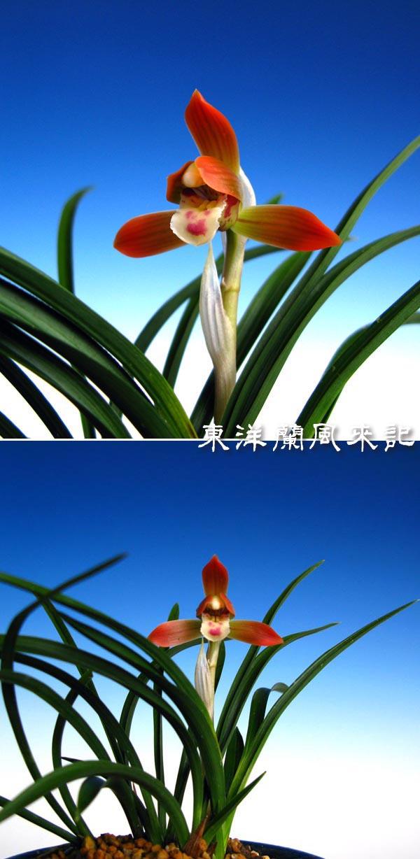 日本春蘭「君子」                     No.276_b0034163_1033152.jpg
