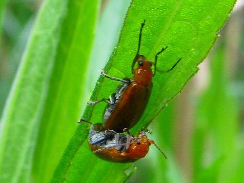 昆虫 > 甲虫目 > ハムシ科 > ...