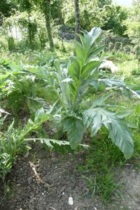 畑の便利野菜カルドの下準備_f0106597_16292778.jpg