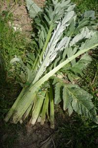 畑の便利野菜カルドの下準備_f0106597_16344725.jpg