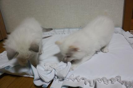 ラグドール仔猫  ハマりもの_d0126813_15364574.jpg