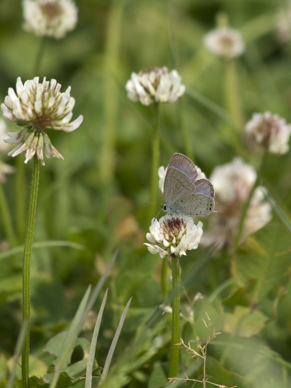 白詰草にもハチやチョウがいた_b0148762_21311432.jpg