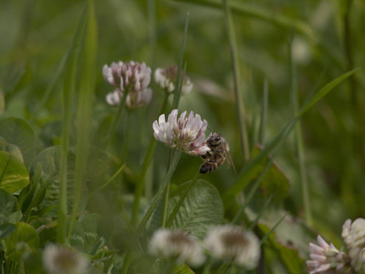 白詰草にもハチやチョウがいた_b0148762_2131520.jpg