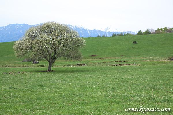 県営八ケ岳牧場のヤマナシの咲き具合は?_b0179231_093565.jpg