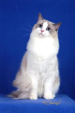 ラグドール仔猫  その後の成長♪_d0126813_0214398.jpg