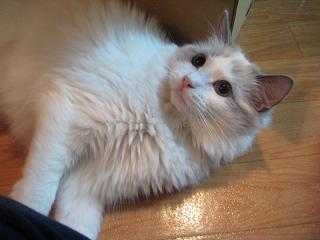 ラグドール仔猫  その後の成長♪_d0126813_0254342.jpg