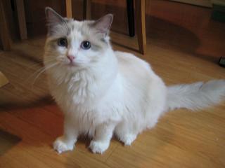 ラグドール仔猫  その後の成長♪_d0126813_0255113.jpg