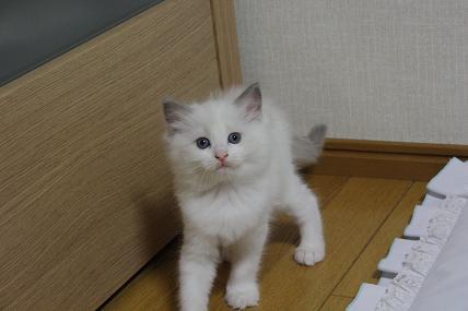 ラグドール仔猫  その後の成長♪_d0126813_0353024.jpg