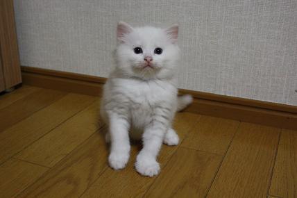 ラグドール仔猫  その後の成長♪_d0126813_0404010.jpg
