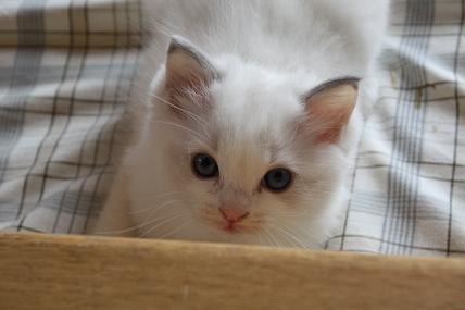 ラグドール仔猫  その後の成長♪_d0126813_0413495.jpg