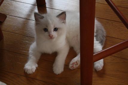 ラグドール仔猫  その後の成長♪_d0126813_0421847.jpg