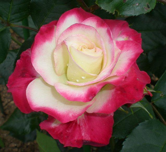 5月17日(日)薔薇のゴージャスディナー!!_f0060461_21435415.jpg