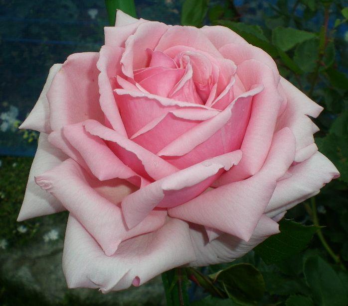 5月17日(日)薔薇のゴージャスディナー!!_f0060461_2145364.jpg