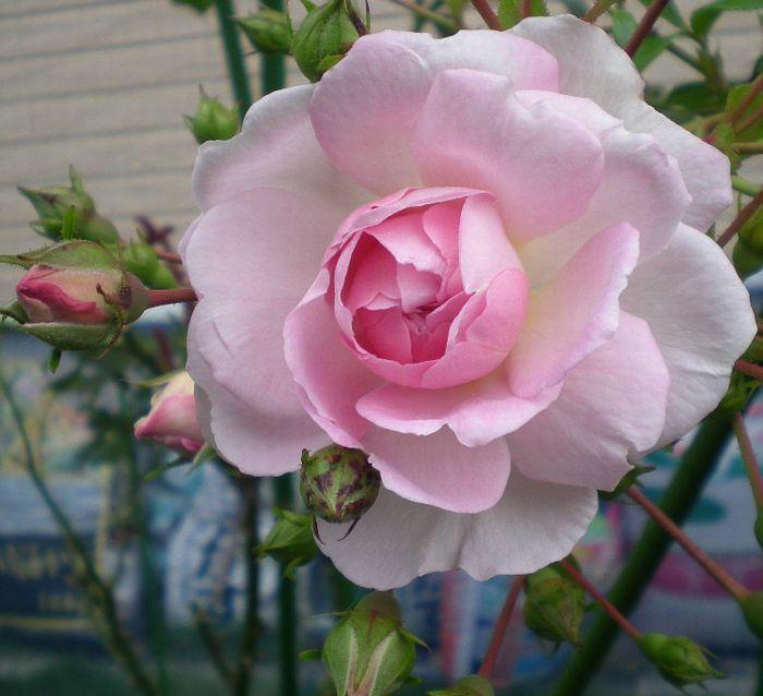 5月17日(日)薔薇のゴージャスディナー!!_f0060461_21454631.jpg