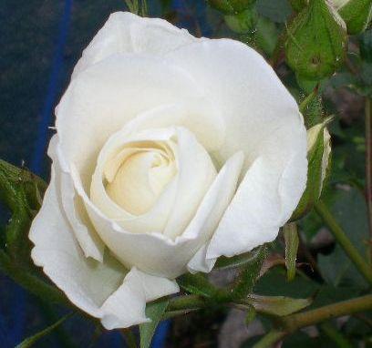 5月17日(日)薔薇のゴージャスディナー!!_f0060461_2243611.jpg