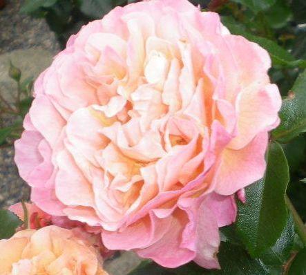 5月17日(日)薔薇のゴージャスディナー!!_f0060461_2251458.jpg