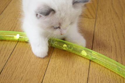 ラグドール仔猫  お遊戯?!_d0126813_2116942.jpg