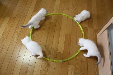 ラグドール仔猫  お遊戯?!_d0126813_2165182.jpg