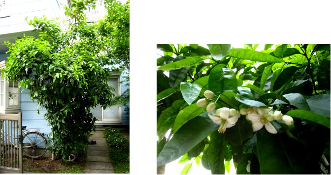 グレープフルーツの花_c0051620_685274.jpg