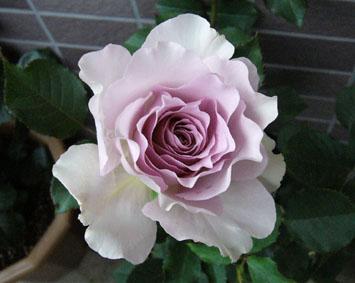 薔薇園へ_a0111125_2013624.jpg