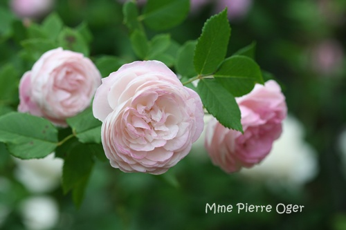 mme pierre oger parterre 薔薇のとき