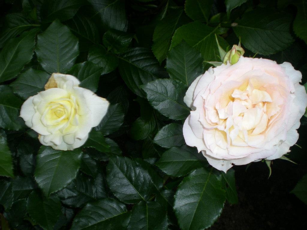 2009年5月19日(火)ゴージャスな薔薇風呂!!!_f0060461_20404910.jpg