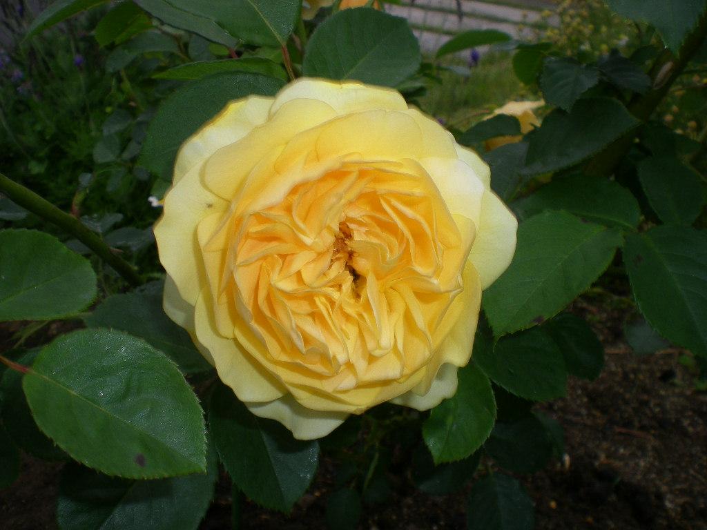 2009年5月19日(火)ゴージャスな薔薇風呂!!!_f0060461_20441833.jpg