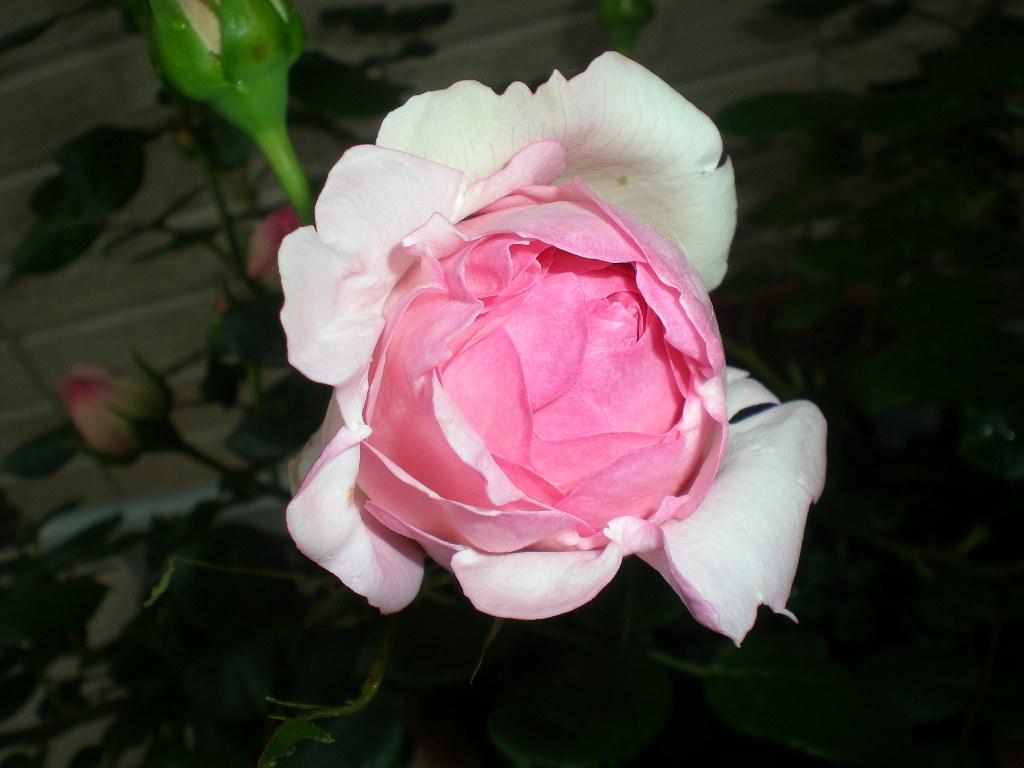 2009年5月19日(火)ゴージャスな薔薇風呂!!!_f0060461_20464234.jpg