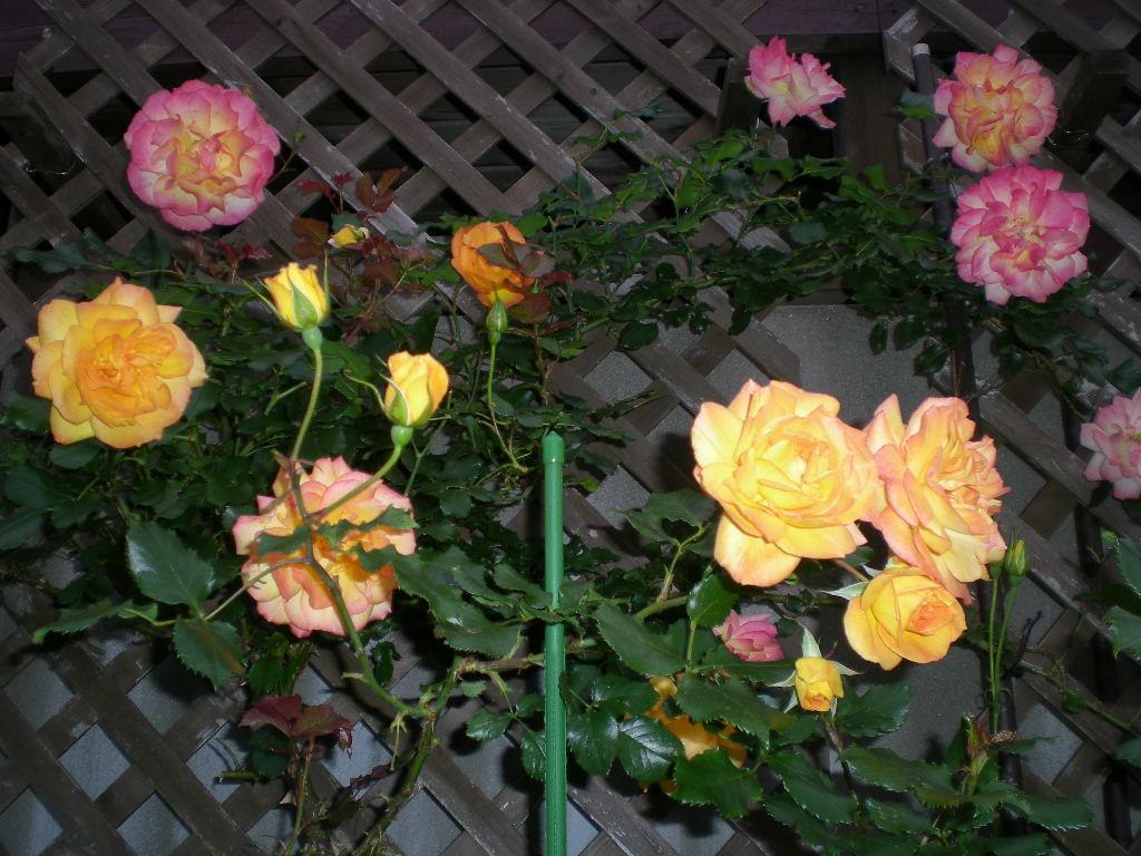 2009年5月19日(火)ゴージャスな薔薇風呂!!!_f0060461_20483460.jpg