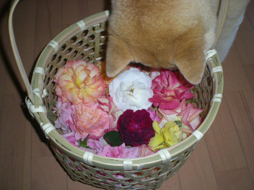 2009年5月19日(火)ゴージャスな薔薇風呂!!!_f0060461_20501312.jpg