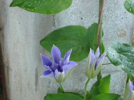 今の庭 5月3週目 2009_d0152765_123327.jpg