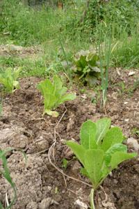 いよいよ畑のハイシーズンです~5月の畑_f0106597_16121983.jpg