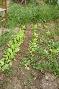 いよいよ畑のハイシーズンです~5月の畑_f0106597_1615555.jpg