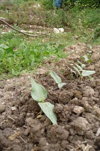 いよいよ畑のハイシーズンです~5月の畑_f0106597_1685986.jpg