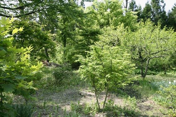 庭の新緑_e0054299_10171666.jpg